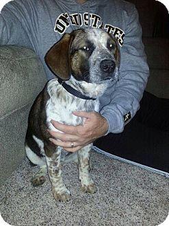 Virginia Beach Va Australian Cattle Dog Beagle Mix Meet Trixie