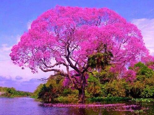 Ipe rosa
