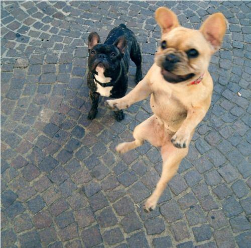Flying French Bulldog French Bulldog Bulldog Cute Animals