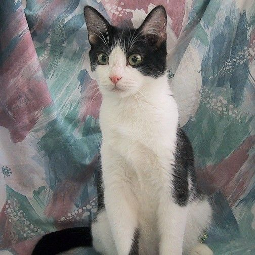 Black And White Domestic Srthair Cat | Beach Koa Domestic Srt ...