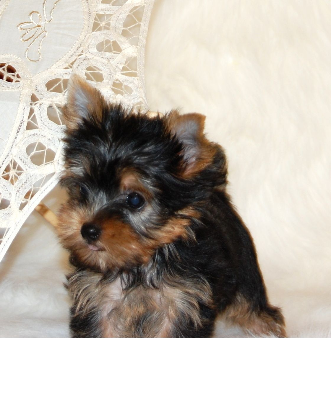 Yorkshire terrier puppies price