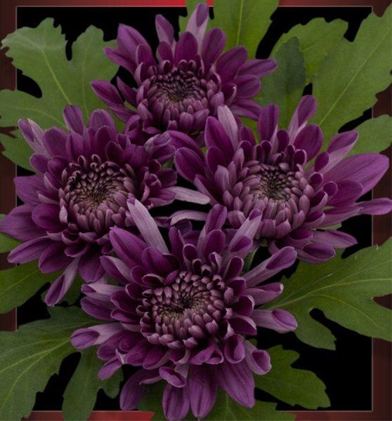 Dark Purple Cushion Pom Types Of Flowers Mini Carnations Flowers