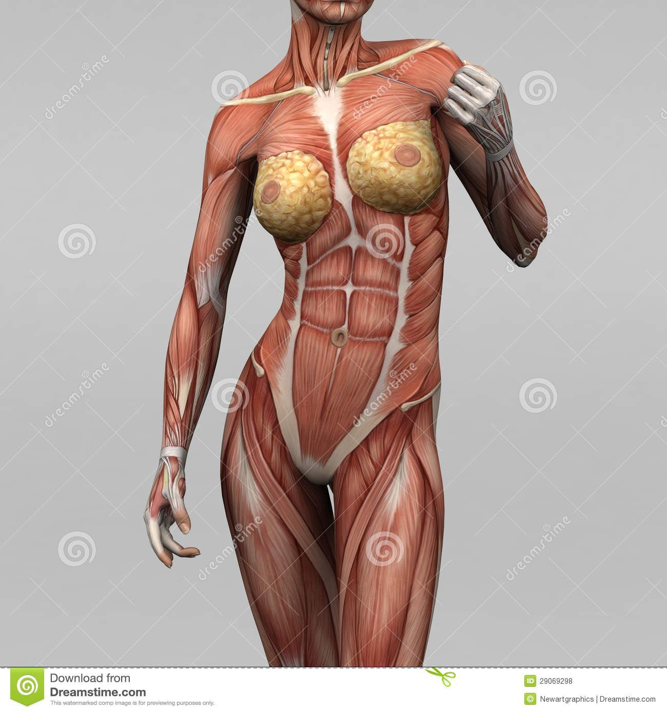 muscle anatomy | Royalty Free Stock Photos: Female human anatomy and ...