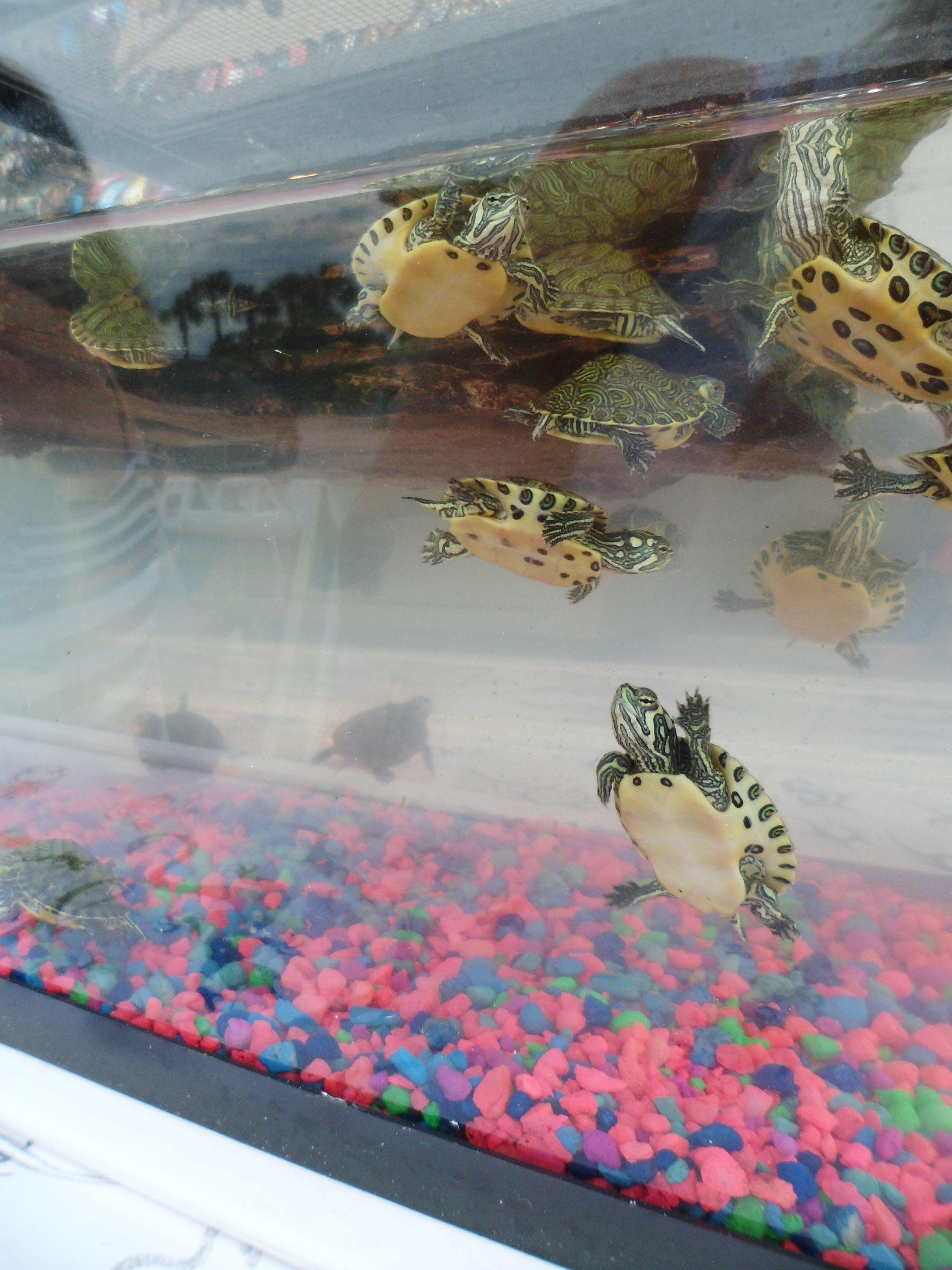 Aquario E Fofo Mas Vamo Fazer Um Laguinho Tartarugas Sao Demais Eu Quero Todas Pra Mim Cute Turtles Pet Turtle Baby Turtles