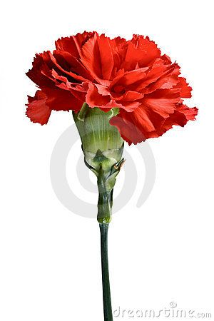 Red Carnation Flower Painting Carnation Flower Watercolor Flowers