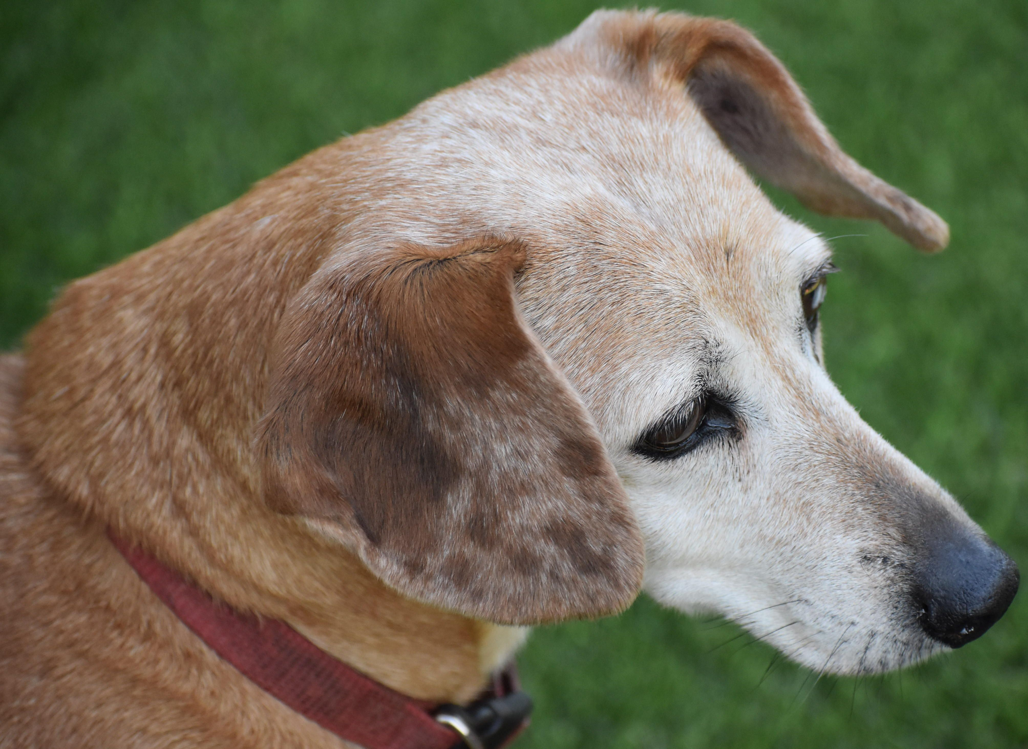 Meet Lady in NY an adoptable pet Dog Dachshund, Pets