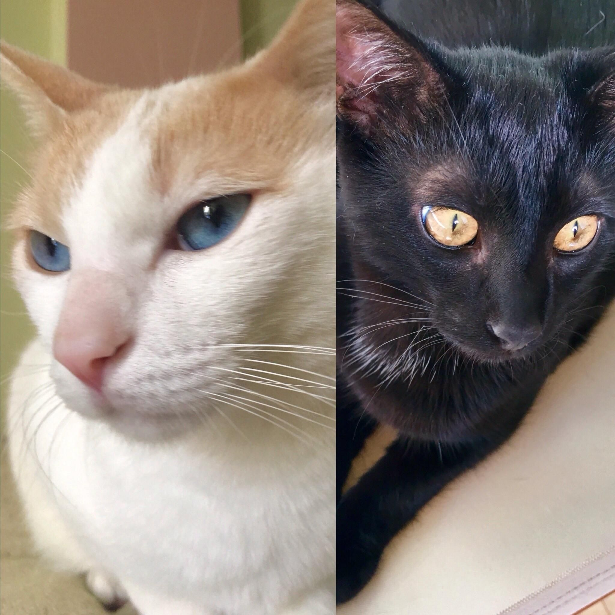 A Lucky Japanese Bobtail And A Lucky Black Cat We Are The Experts To Give You Your Weekly Lucky Kisses Muah Japanese Bobtail Cats Cat Pictures For Kids