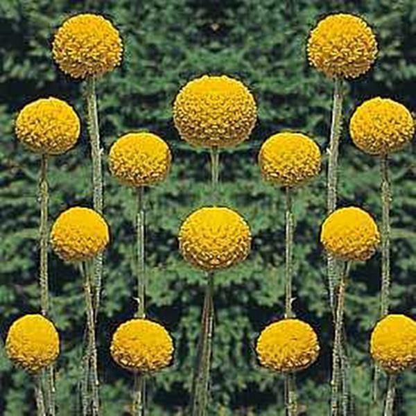 Craspedia globosa billy buttons buy online at annies annuals craspedia globosa billy buttons buy online at annies annuals perennials in the garden pinterest perennials gardens and flowers mightylinksfo Image collections