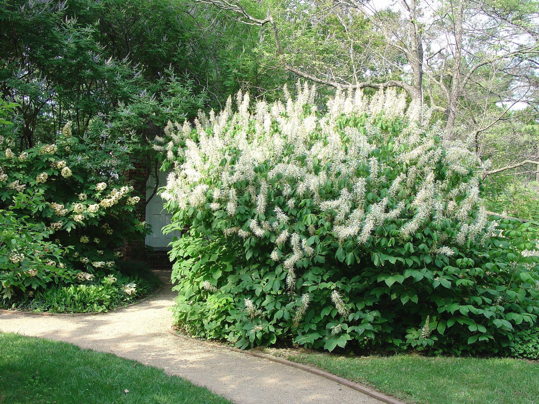 Aesculus Parviflora Bottlebrush Buckeye Zone 5 Size Large