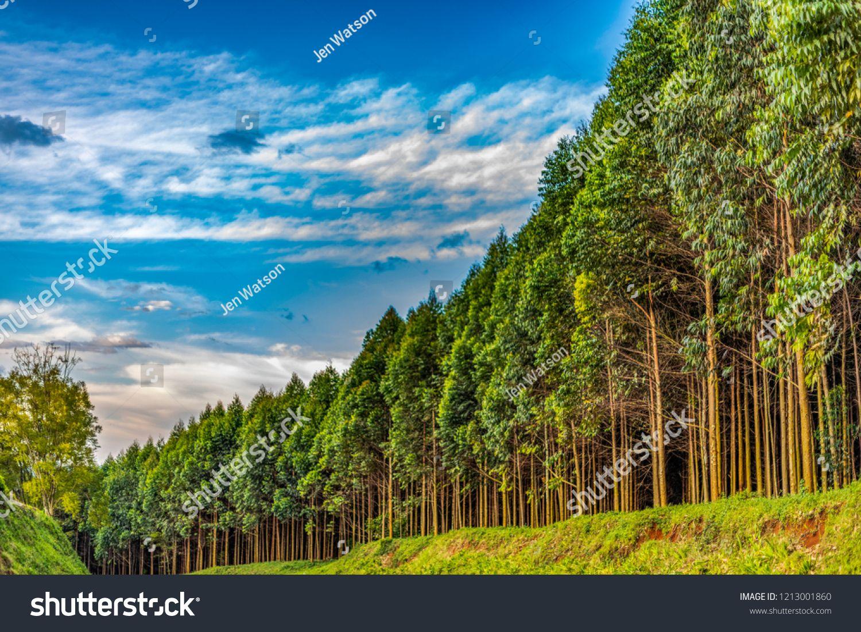 Eucalyptus Plantation Grown For Tea Industry In Kenya