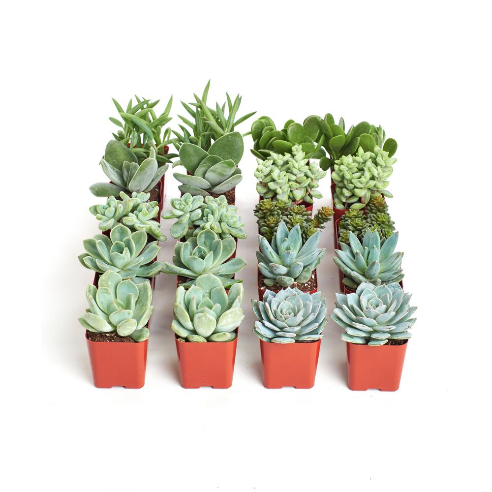 Home Botanicals 2 In Blue Green Collection Succulent Collection Of 20 Bg20 The Home Depot In 2020 Succulents Drought Tolerant Plants Plants