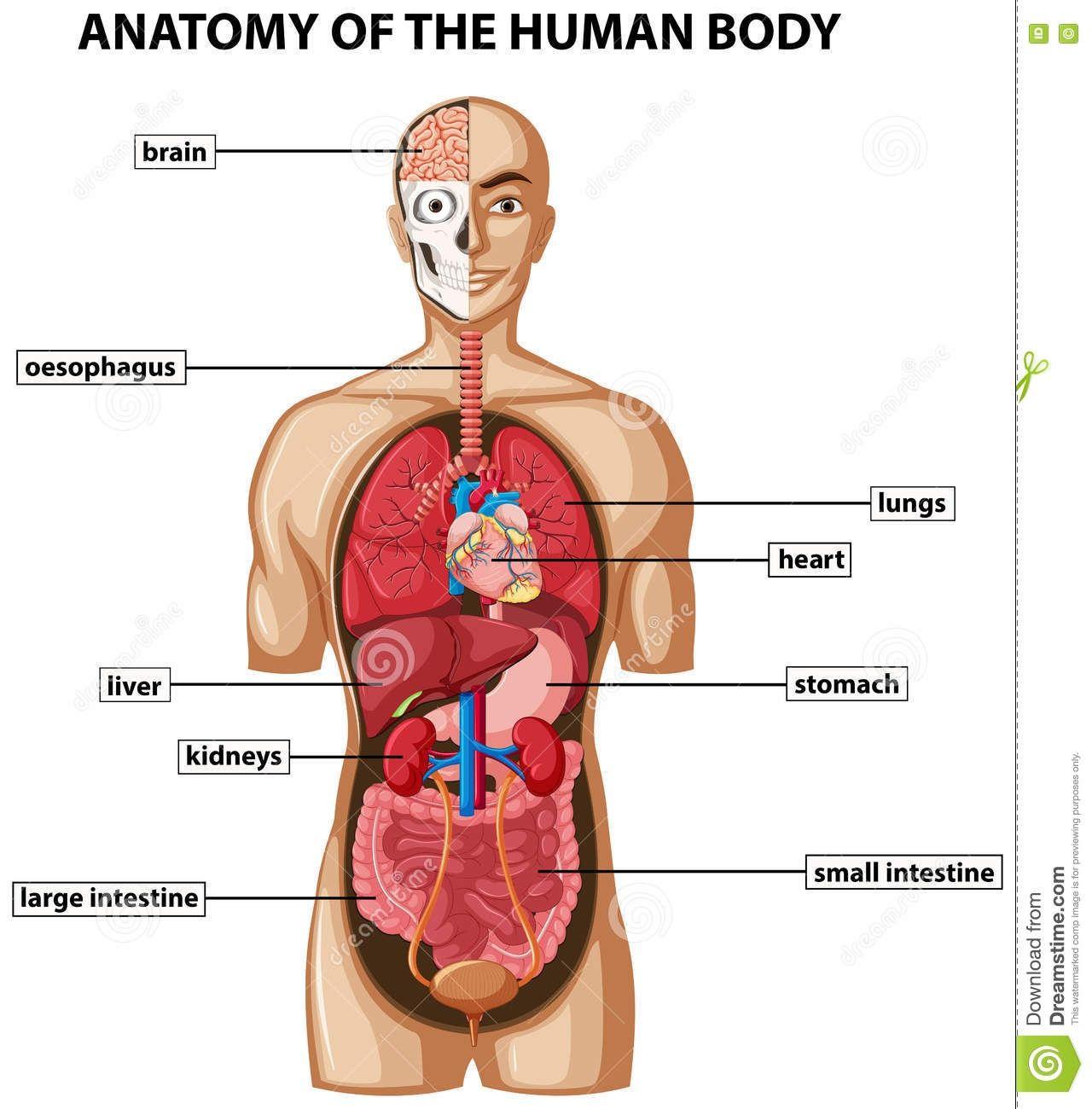 Cephalic Body Diagram Label Schematic Library