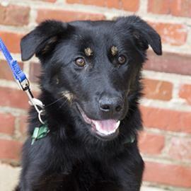 Meet Delaney A Petfinder Adoptable Border Collie Dog Richmond