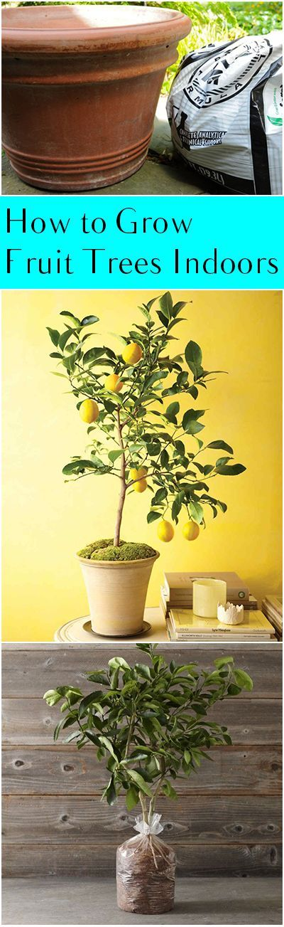 to Grow Fruit Trees Indoors How to Grow Fruit Trees in Containers- Tips and tricks to have successful fruit trees all year long- no matter where you live!How to Grow Fruit Trees in Containers- Tips and tricks to have successful fruit trees all year long- no matter where you live!
