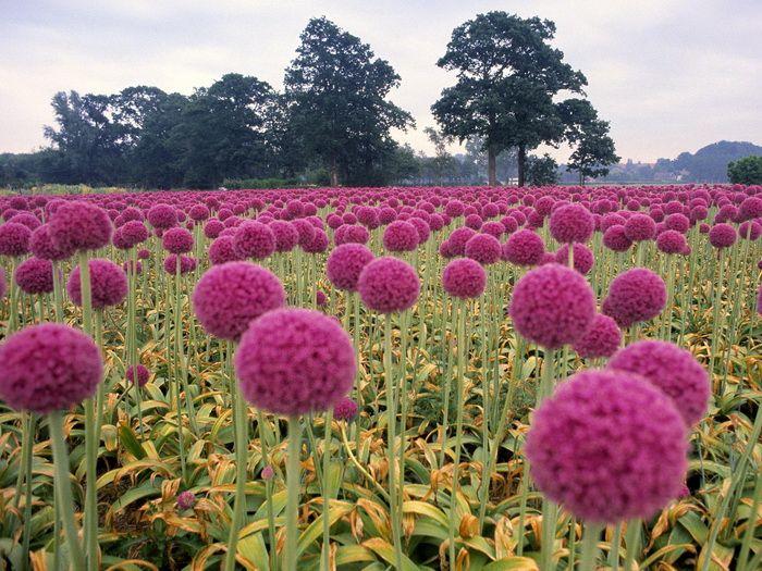 18 Beautiful Fields Photos Color Splash Photography Color Splash Pink Onion Flower