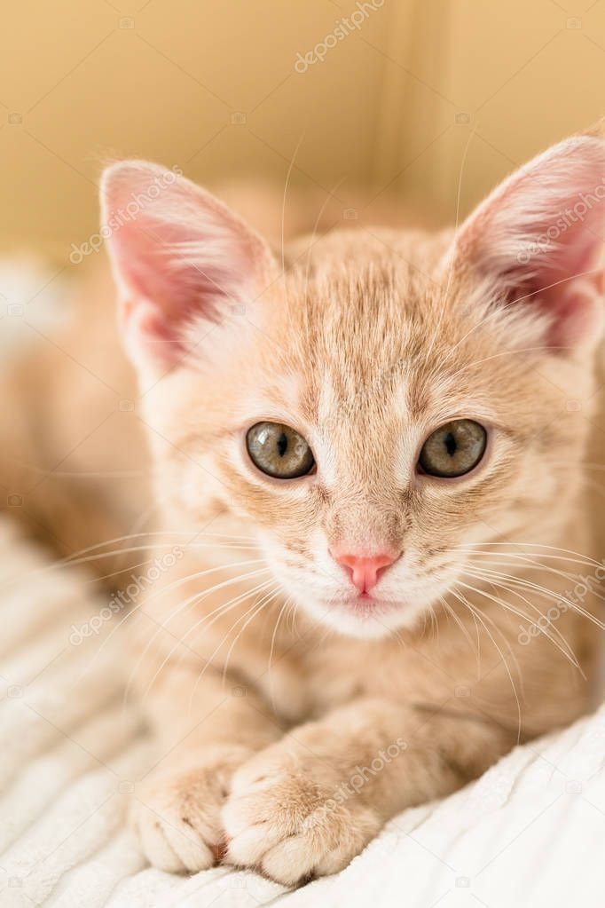 Young Ginger Kitten White Blanket Cute Pet - Stock Photo , #AFFILIATE, #Kitten, #White, #Young, #Ginger #AD #gingerkitten Young Ginger Kitten White Blanket Cute Pet - Stock Photo , #AFFILIATE, #Kitten, #White, #Young, #Ginger #AD #gingerkitten Young Ginger Kitten White Blanket Cute Pet - Stock Photo , #AFFILIATE, #Kitten, #White, #Young, #Ginger #AD #gingerkitten Young Ginger Kitten White Blanket Cute Pet - Stock Photo , #AFFILIATE, #Kitten, #White, #Young, #Ginger #AD #gingerkitten