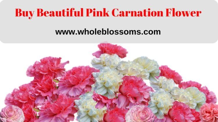 Pink Carnation Flower Carnation Flower Carnations Carnation Colors