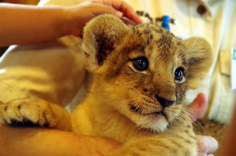 ライオンの赤ちゃんと記念撮影!富士サファリパークにて