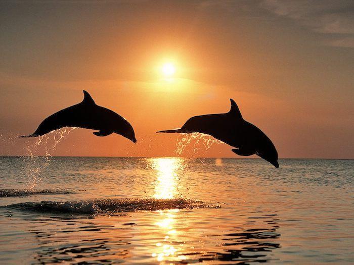hier finden sie zwei schwarze delfine im sprung und über dem meer - tolles bild zum thema delfine im sonnenuntergang