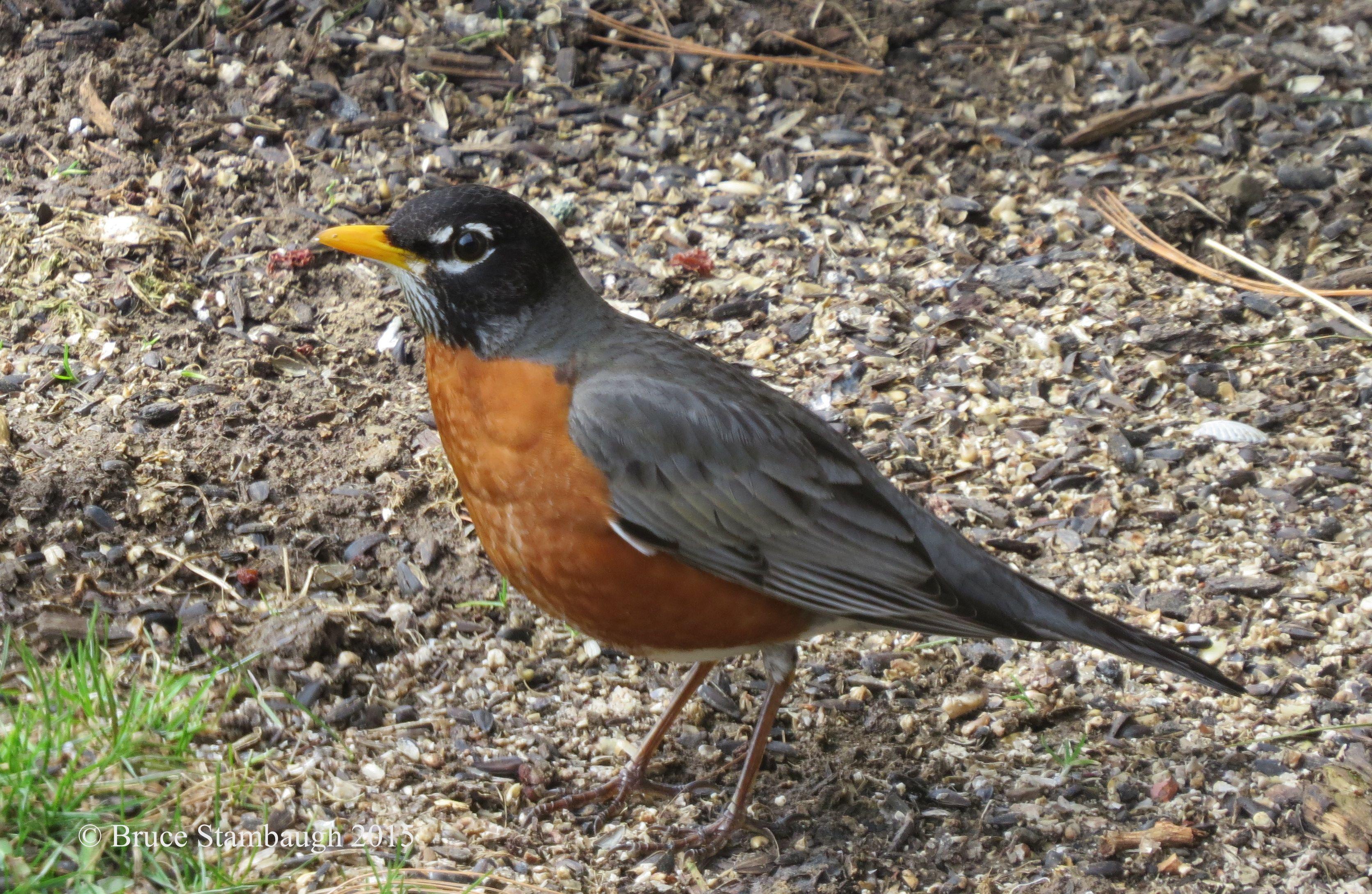 American robin by bruce stambaugh american robin stambaugh