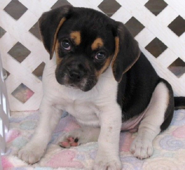 This Looks Like Our Tri Color Rescue Puggle As A Puppy As A