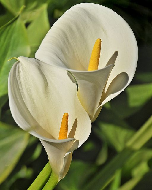 Lily Type Plants: Hot To Grow And Care Of Calla Lily Indoors