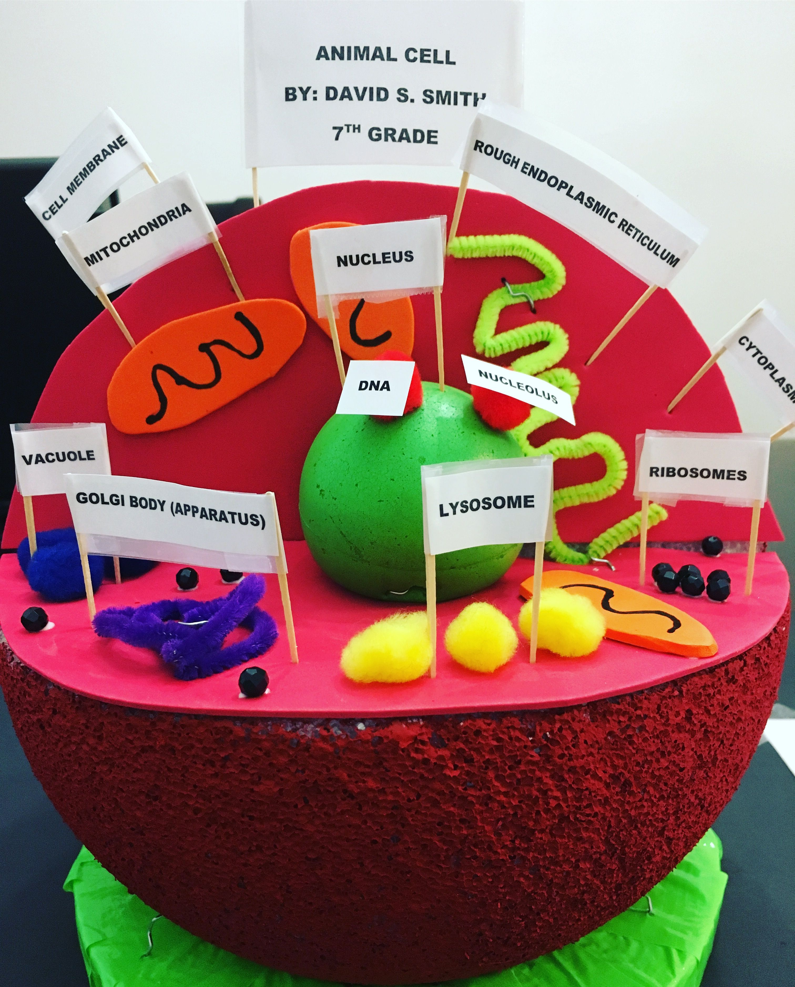 hight resolution of my son s 3d animal cell model best ideas of 4th grade plant and animal cell test
