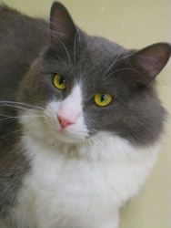 Errol Is An Adoptable Young Grey Dmh Tuxedo Cat At Feline Rescue In Saint Paul Mn Purebred Cats Cat Shelter Cats