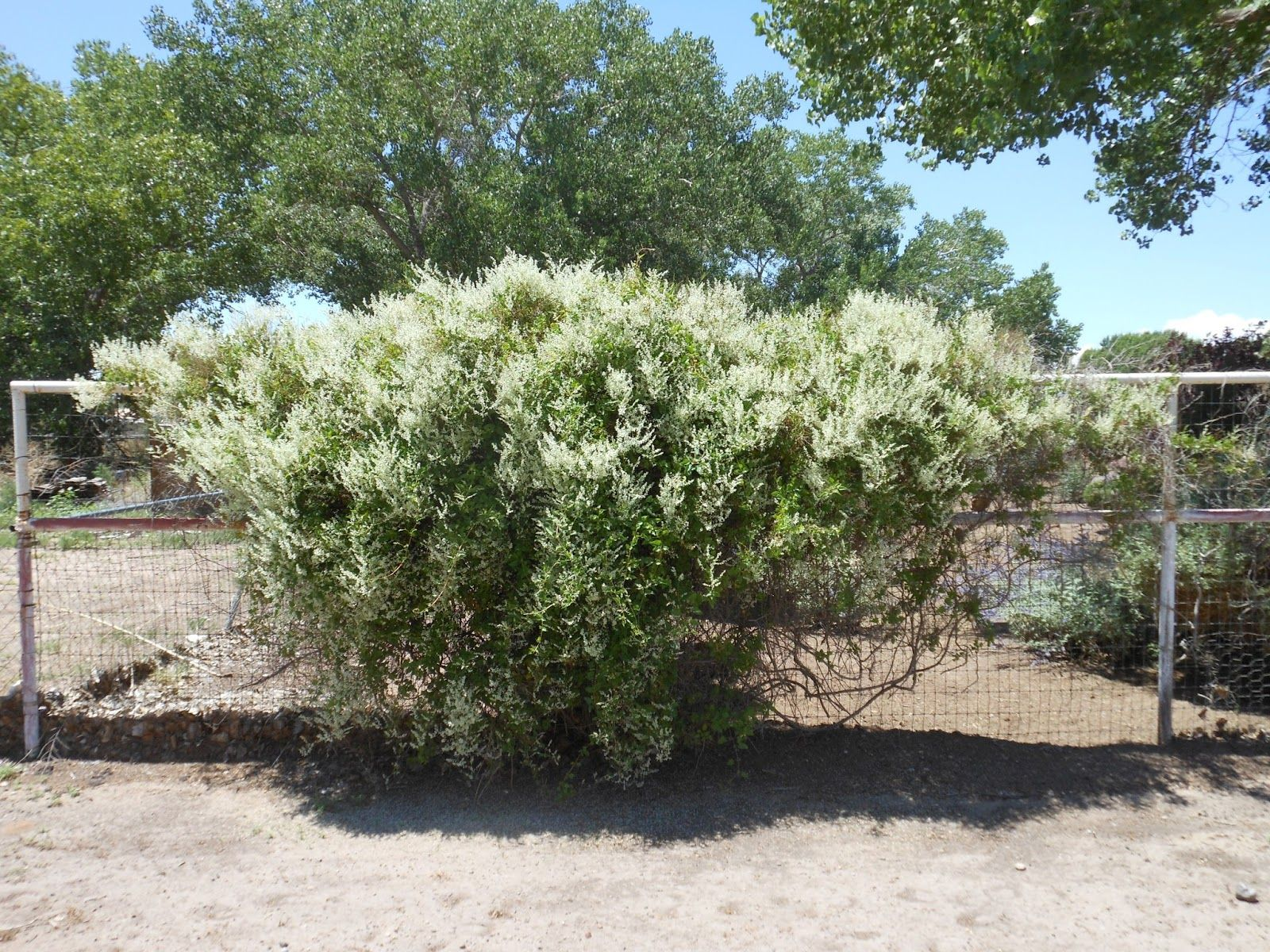 Silver Lace Vine can grow 610 or more each season so is ideal for