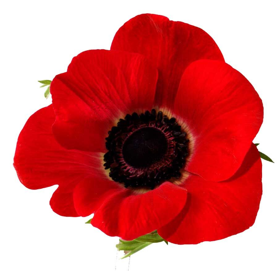 Remembrance day 2013 honoring and remembering those who have died poppy flower meanings and poppy flower pictures including red california and golden poppies find out about poppy flower seeds and much more at mightylinksfo Image collections