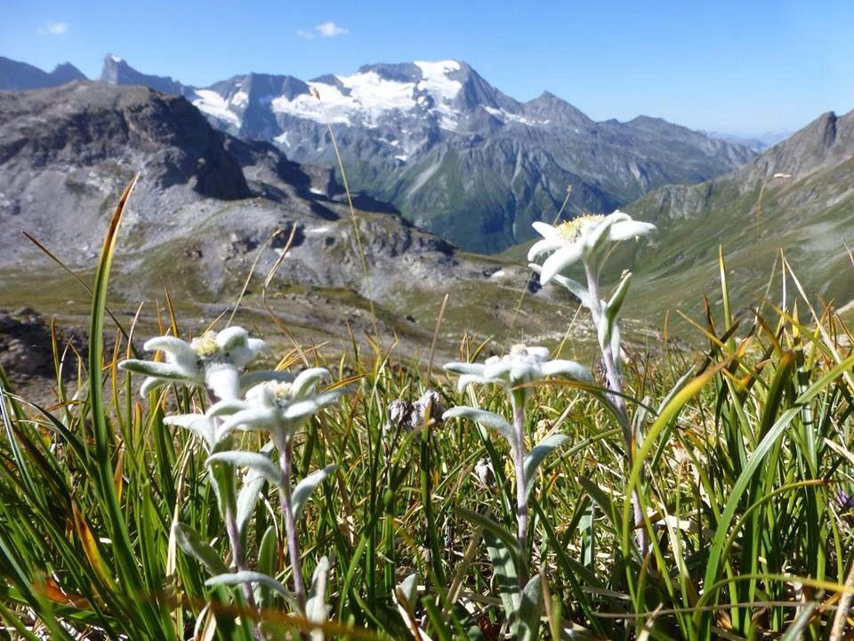 edelweiss fleur de montagne l 39 t en montagne paysages pinterest les montagnes fleurs. Black Bedroom Furniture Sets. Home Design Ideas