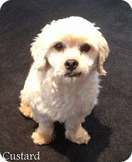 New Jersey Nj Poodle Miniature Shih Tzu Mix Meet Bordentown
