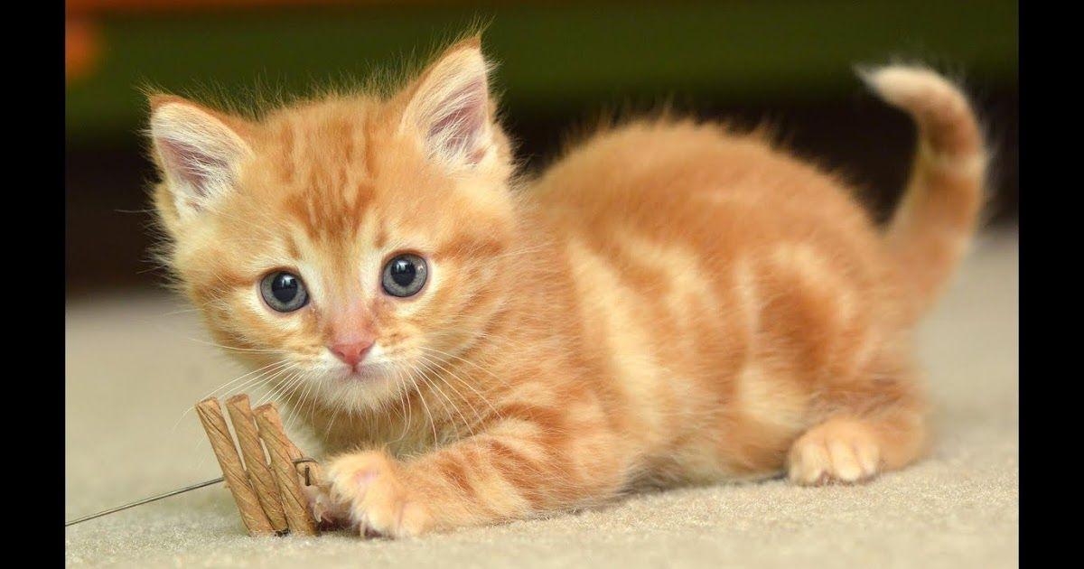 Gambar Kucing Lucu Cute Cat Wallpaper Cat Wallpaper Baby Cats