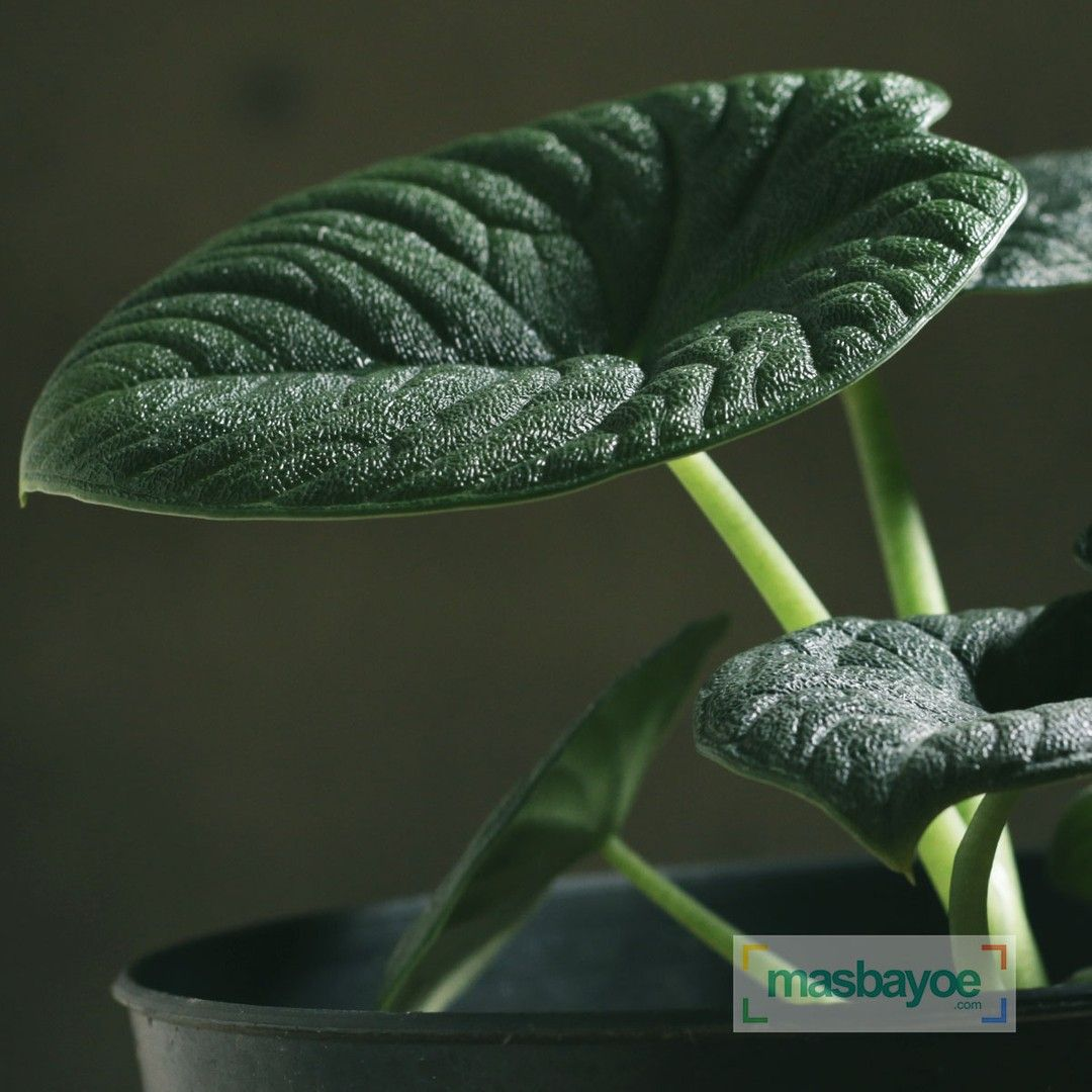 Alocasia Melo Badak Alocasia Alokasia Tanamanhias Houseplantcommunity Alocasiamelo Plantsmakepeoplehappy Hous Kebun Sayur Bunga Kebun