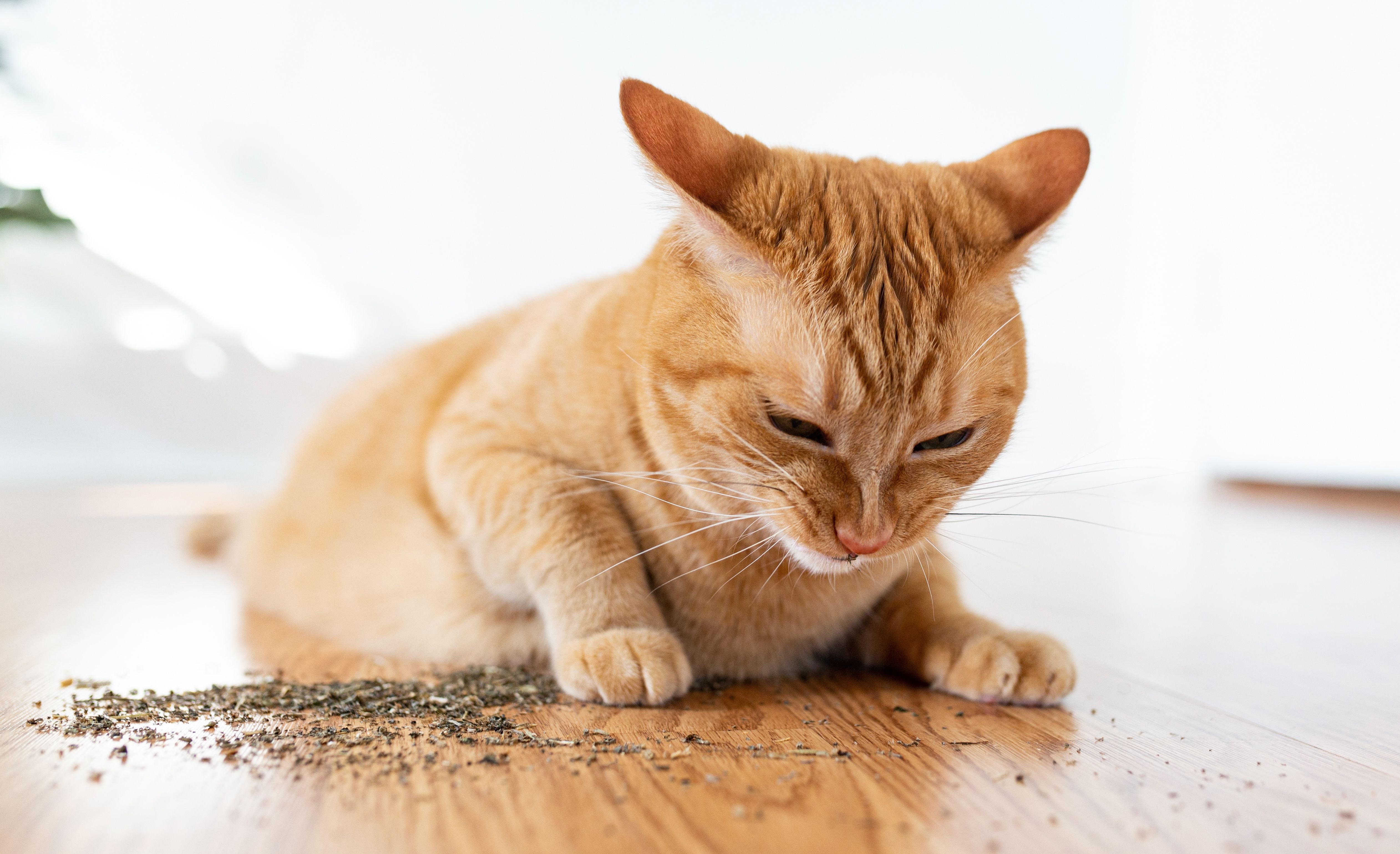 What Is Catnip And How Does It Affect Your Cat Cats Smelling Catnip Cats
