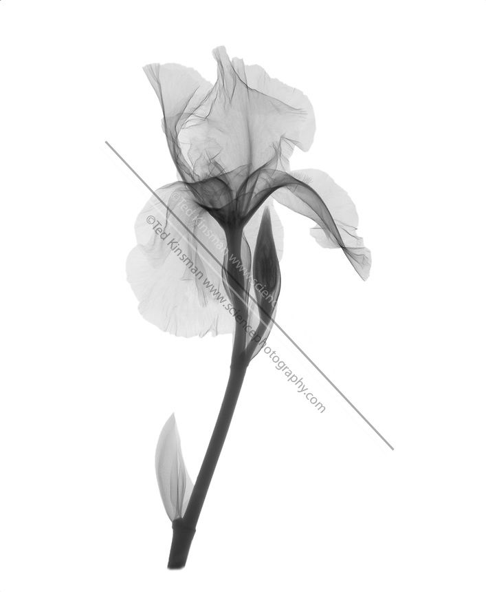 An X Ray Of An Iris Flower Sciencephotography Com Iris Flower Tattoo Flower Tattoo Sleeve Xray Art