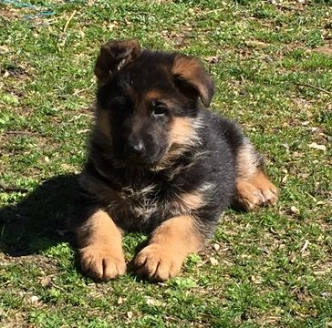 German Shepherd Dog puppy for sale in NORTH BERGEN, NJ