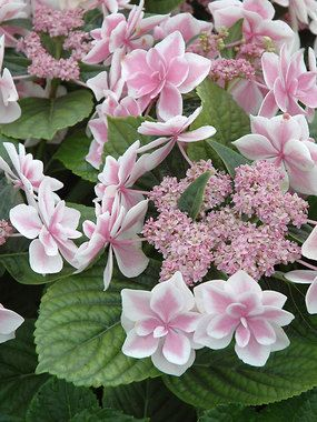 Hydrangea, Star Gazer (macrophylla 'Star Gazer') Unique lacecap with blue or pink star insets, depending on soil pH, surrounded by white picotee edges. Compact habit. This reblooming shrub collection features fully double blooms supported by extra long stems. Blooming occurs throughout spring, summer, and fall with good mildew resistance 3-4' x 3-5'
