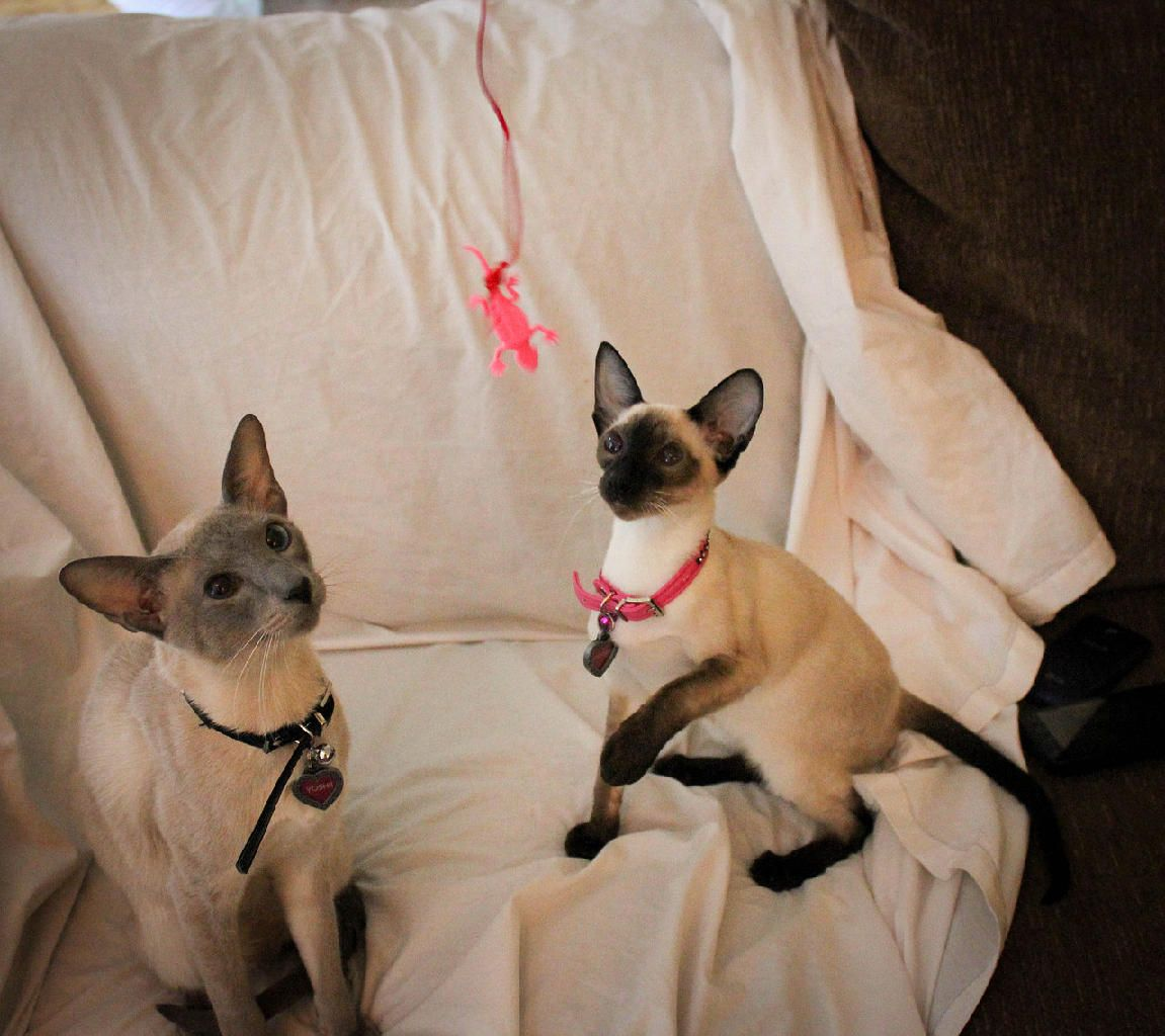 Cattery, Balinese cat, Small cat