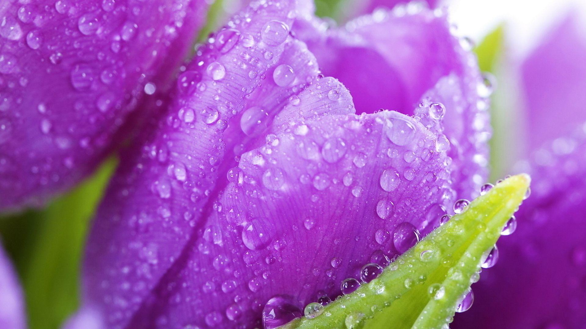 purple tulip with raindrops wallpaper