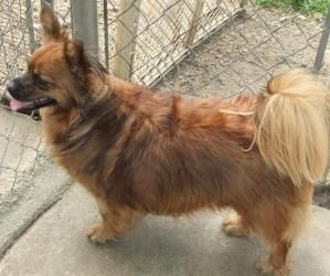 Adopt Pippi On Papillon Dog Dogs Pets