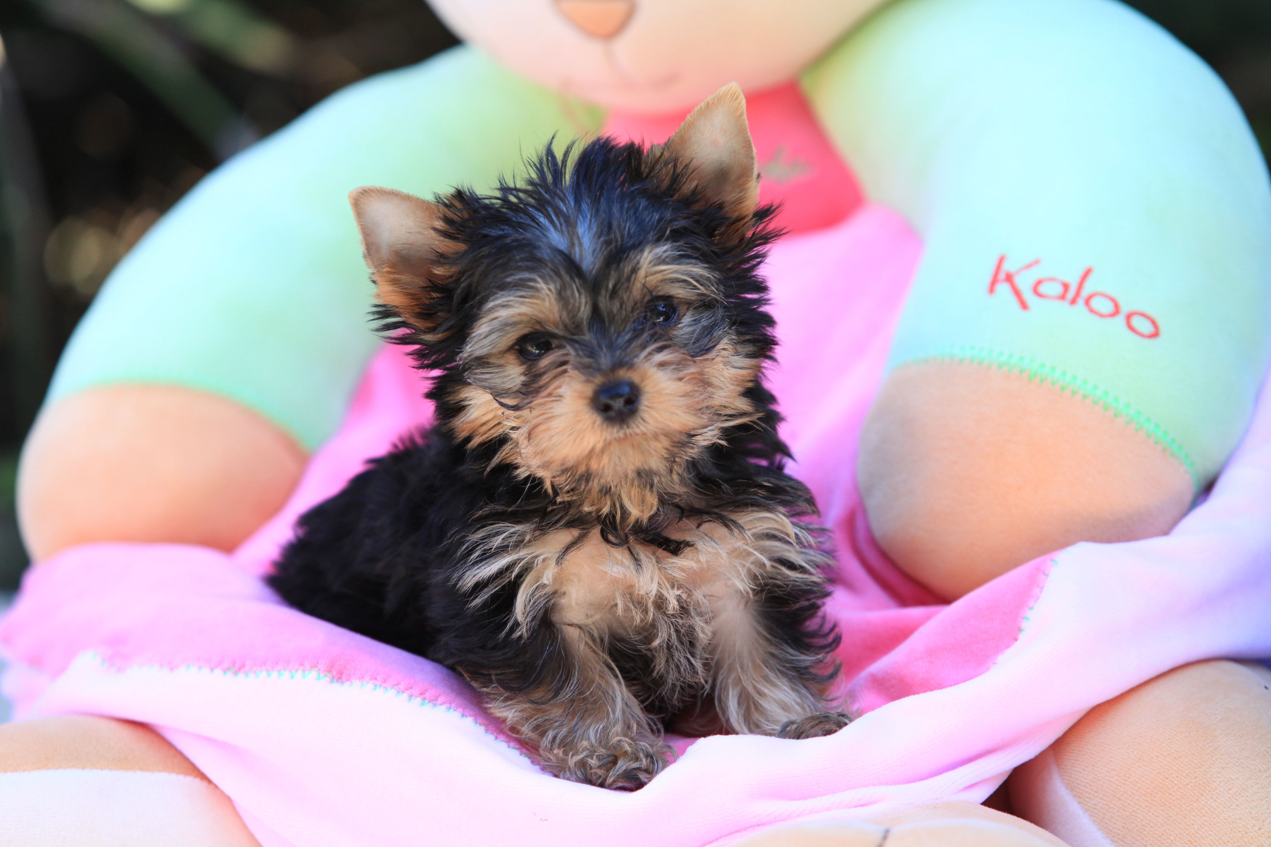 Makes Me Want Another Yorkie But Snickers Would So Not Approve Of Not Being The Only Yorkshire Terrier Puppies Yorkshire Terrier Yorkshire Terrier Puppy Yorkie