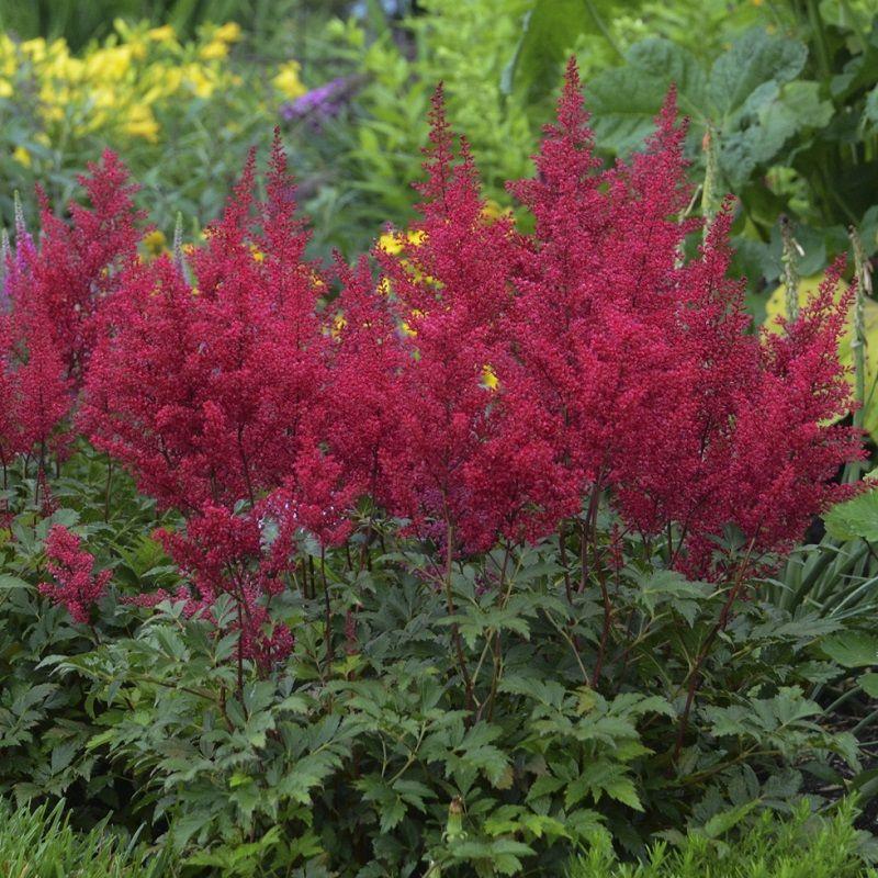 Red Sentinel Astilbe Shade Loving Perennials Astilbe Perennials