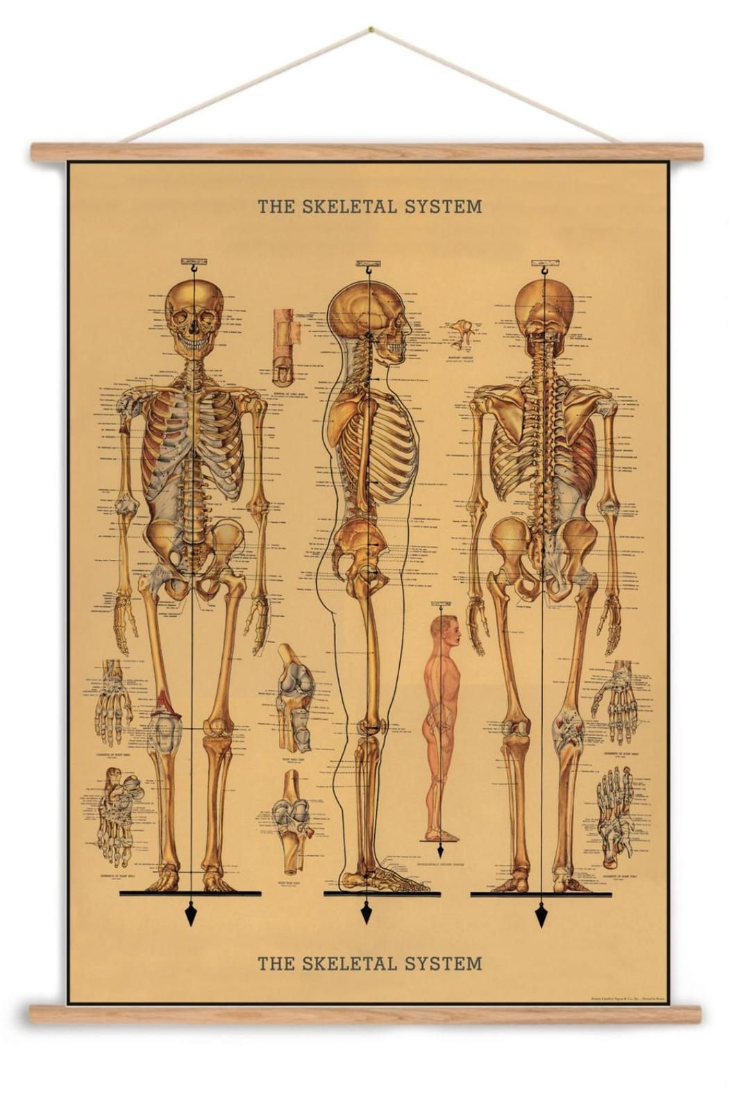 Skeletal System Chart | Chart, Hardware and Printing