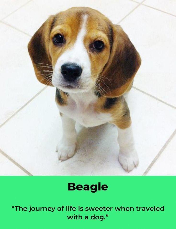 Facts On The Loving Beagle Dog Personality Beaglelovers Mybeagle
