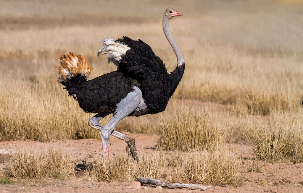 https://flic.kr/p/tM6pC5 | Ostrich 006 | A male ostrich displays for a nearby female.