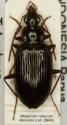 Altagonum caducum.jpg (230×425)