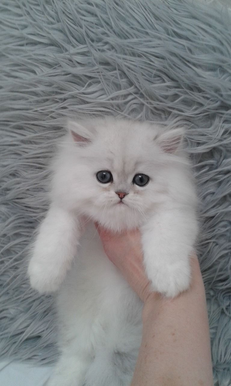 Persian Cats For Sale Group 14621, NY in 2020 Persian