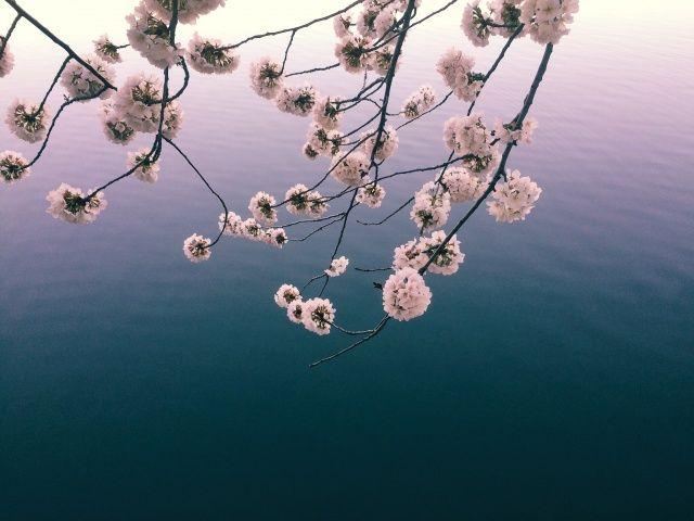 Sunrise Sakura, Washington #DC | Jessica Elenstar | VSCO Grid