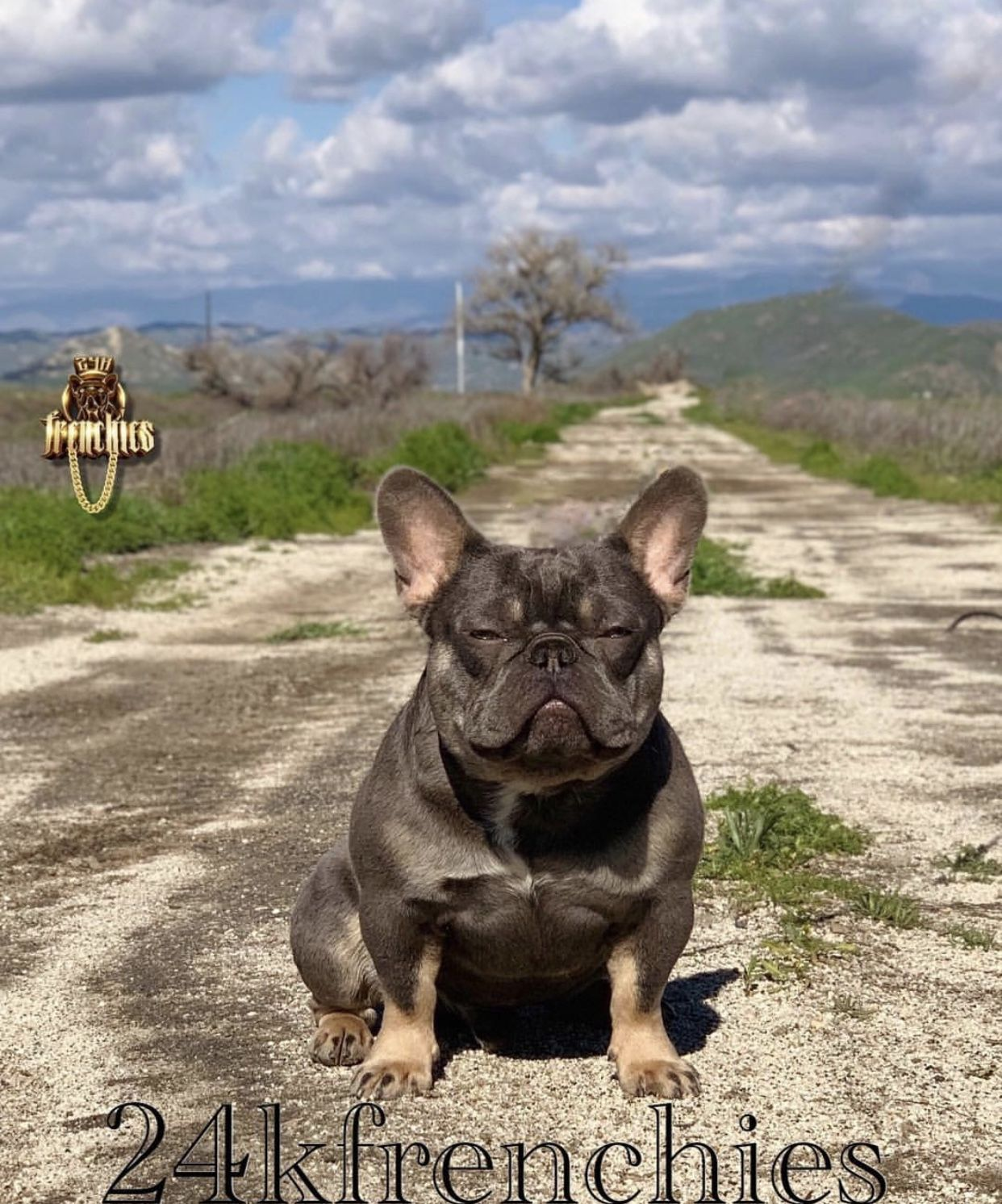 24k Frenchies Shot Caller Known Worldwide Lilac And Tan No